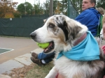 Austin Bolt (the 'A' dog)--tennis junkie too!